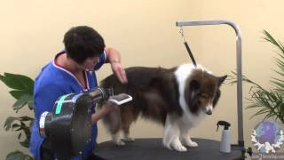Grooming The Pet Shetland Sheepdog With Michell Evans - Icmg, Ncmg
