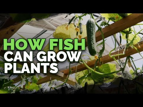 492lb of Cucumbers in 4 Weeks?! Aquaponics Greenhouse Tour