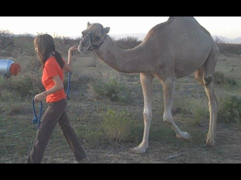 It's baby Baby! Lost footage from 2009 resurfaces! (My male Dromedary Camel.)