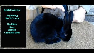 Rabbit Genetics - Explaining The B Locus in Rabbits, The Chocolate Rabbit Gene and the Black Gene