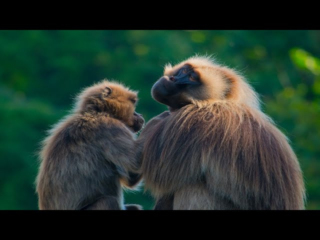 Getting to Know Ethiopia's Gelada Baboons