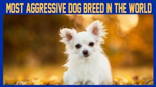 Everything you need to know about chihuahua |chihuahuadogbreed| |pets| |dogs| |cutechihuahua|