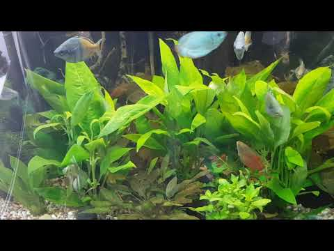 Rainbow fish and dwarf gourami in planted jewel 190 aquarium.