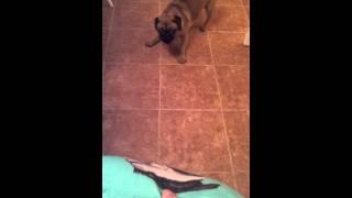 Puggle Scared Of Pug Cushion