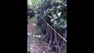Jual Bibit Mangga Arum Manis 081335595272