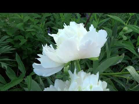 Пион ГОЛДЕН БРАСЛЕТ / Paeonia GOLDEN BRACELET: обзор, описание, цветение, отзыв