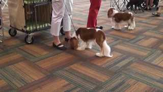 Bluegrass Classic 2013 - Cavalier King Charles Spaniel - Winners Dog