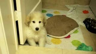 Great Pyrenees Puppy Bobbe And His Cushion...