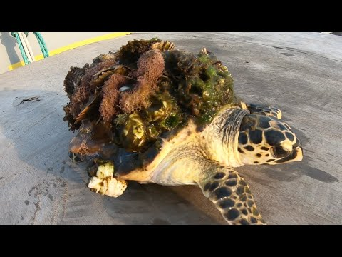 Rescue Sea Turtle Removing Monster Barnacles from Poor Turtle Rescued Fourth Turtle #YOMADeeK #YMDK