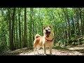 美犬度をUPしたい柴犬が新潟県の美人林を散策。そして後半はお楽しみの川遊びへ