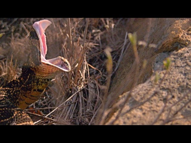 What Can a Puff Adder Snake Bite Do to a Rhino?