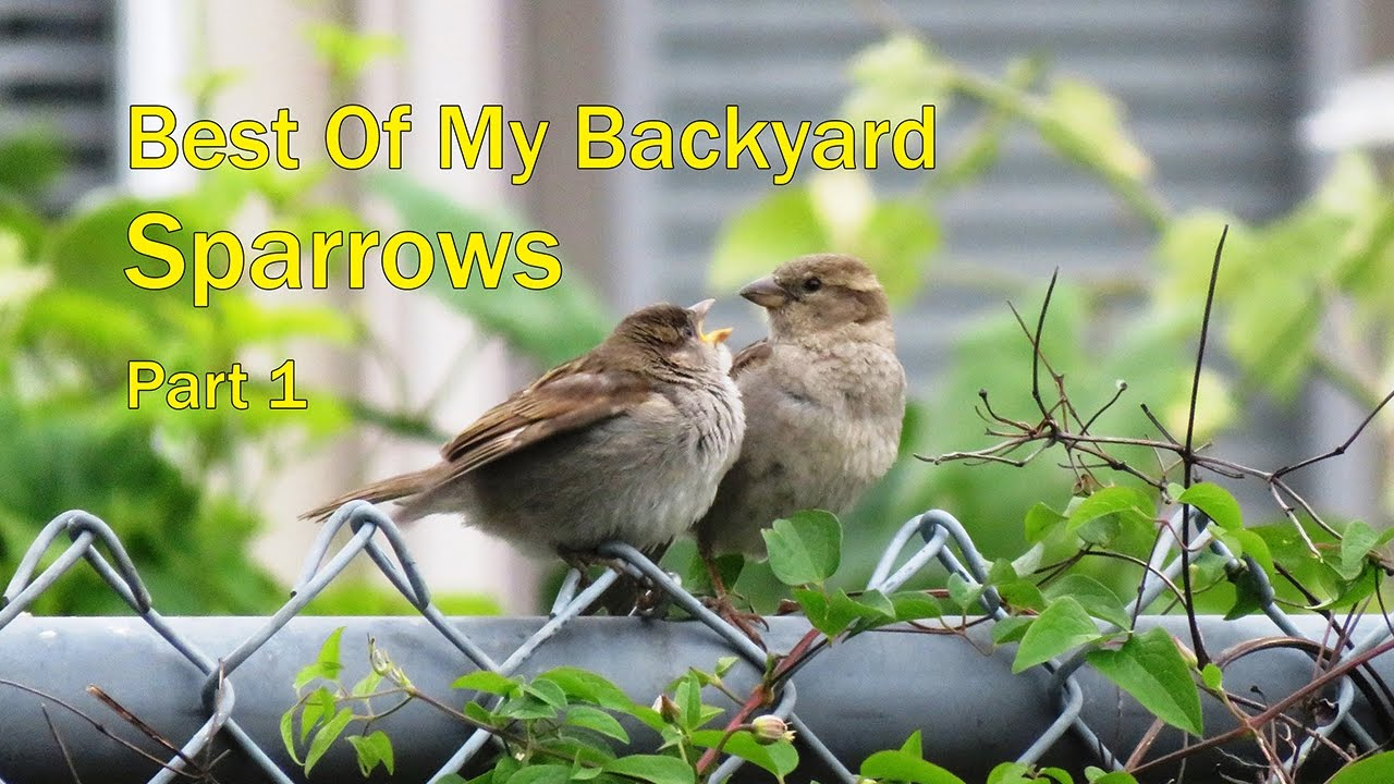 Backyard Birding   Sparrows   Part 1