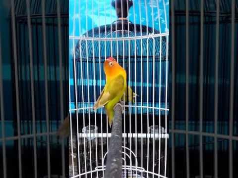 Gila..... Burung Lovebird Ngekek Panjang Durasi 48 Detik Harga 2 Juta