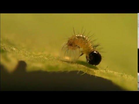 A hatching Kamehameha butterfly caterpillar (Vanessa tameamea)