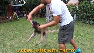 Introduction To Obedience, Blind Search And Protection Work, With 4 Month Old Belgian Malinois