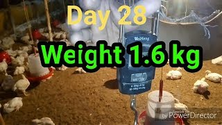 Live weight वजन 1.6 kg & temperature mettar for poultry farming || broiler