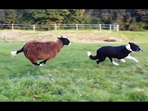 'Sheep Who Think They're Dogs Compilation' || CFS