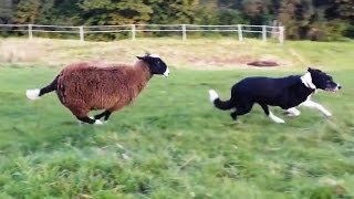 """""""Sheep Who Think They're Dogs Compilation""""    CFS"""