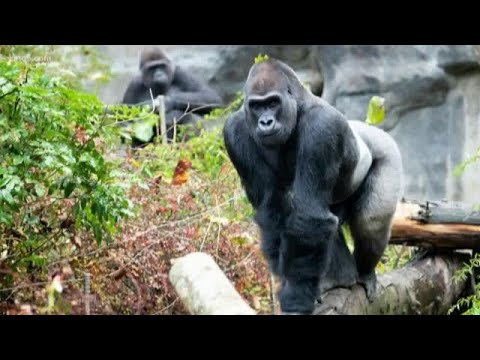 New Male Gorilla Debuts At Woodland Park Zoo