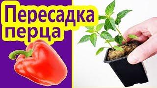 Острый перец на подоконнике - Как вырастить горький перец на подоконнике зимой - Выращивание и уход