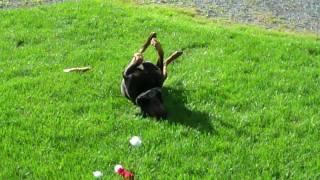 A Rottweiler Named Bear Had An Itchy Ear