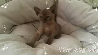 Соболиная бурманская девочка Betsy. Питомник бурманских кошек Freya Way.