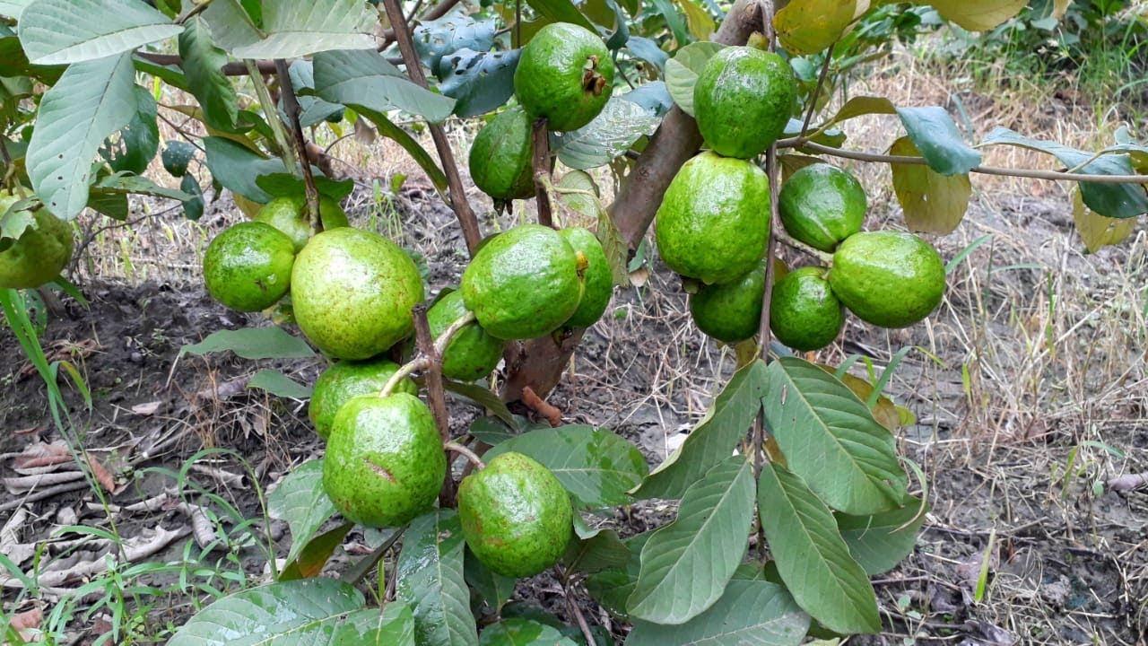 Taiwan Seedless Guava Tree Plantation In india  Baramashi Fruit Dateha !!