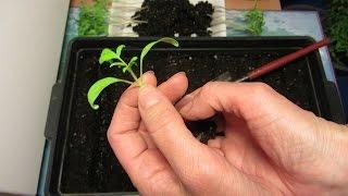 видео Пикировка томатов - пошаговая инструкция