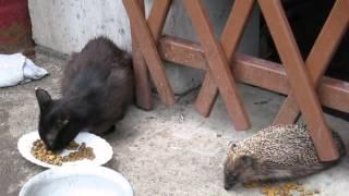 Ежик и кошка едят рядом из одной миски