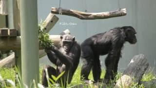 ある日のチンパンジー放飼場の様子です。この日出ていたのは17頭のうち1...