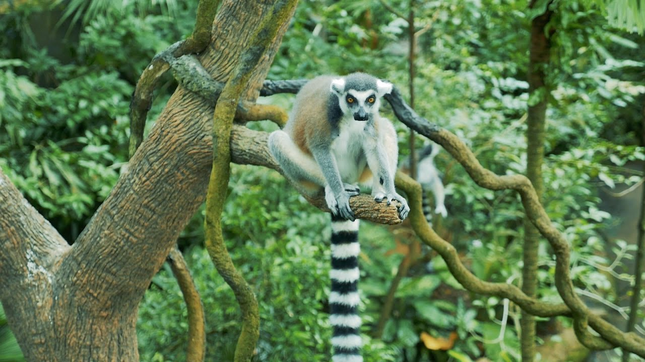 Ring-Tailed Lemur looks like a Monkey