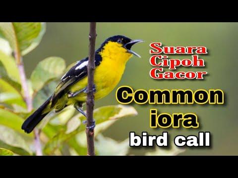 Common Iora ( Aegithina Tiphia) Bird Calling In The Wild | Birding In Singapore #SHORTS