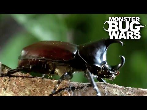 Rhinoceros Beetle Vs Meat Ants | MONSTER BUG WARS
