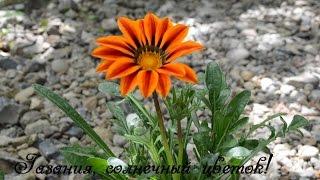 Газания в дизайне сада.  Один день из жизни цветов!