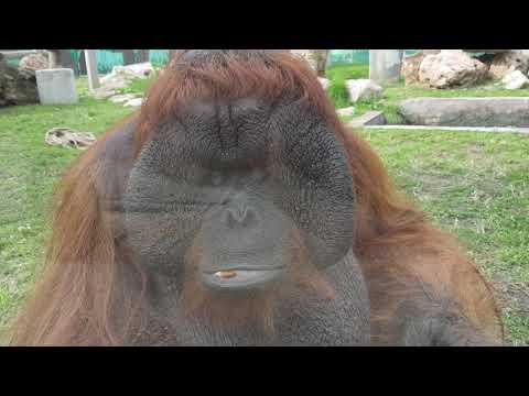 Orangutans and their enclosure