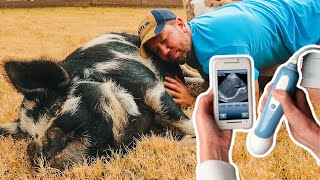 I can already HEAR the PIGLETS squealing! 🐷 (Hermione the pig's ultrasound)
