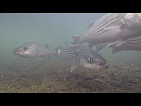 Oklahoma's Lower Illinois River underwater fish footage.