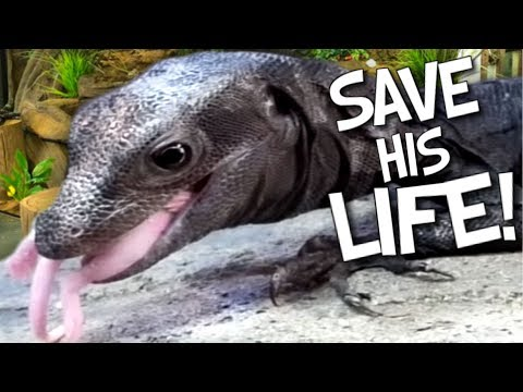 ASSIST FEEDING MY RARE BLACK DRAGON LIZARD TO SAVE ITS LIFE!! | BRIAN BARCZYK