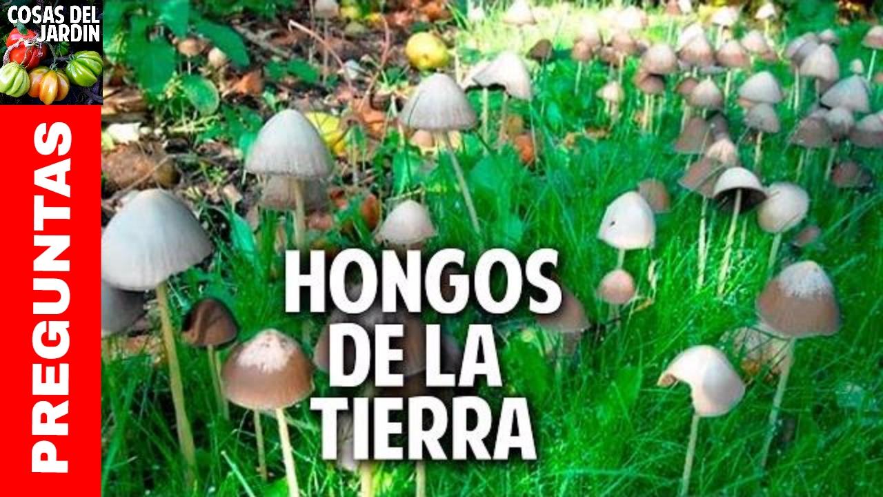 Hongos en la tierra de las plantas youtube - Como limpiar hongos de la pared ...