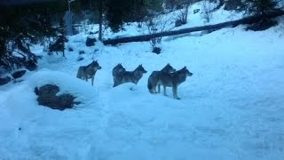 Alpes-Maritimes: des loups dévorent une biche en plein cœur du village