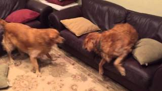 Golden Retriever Meme Brothers Brawling During Homeland