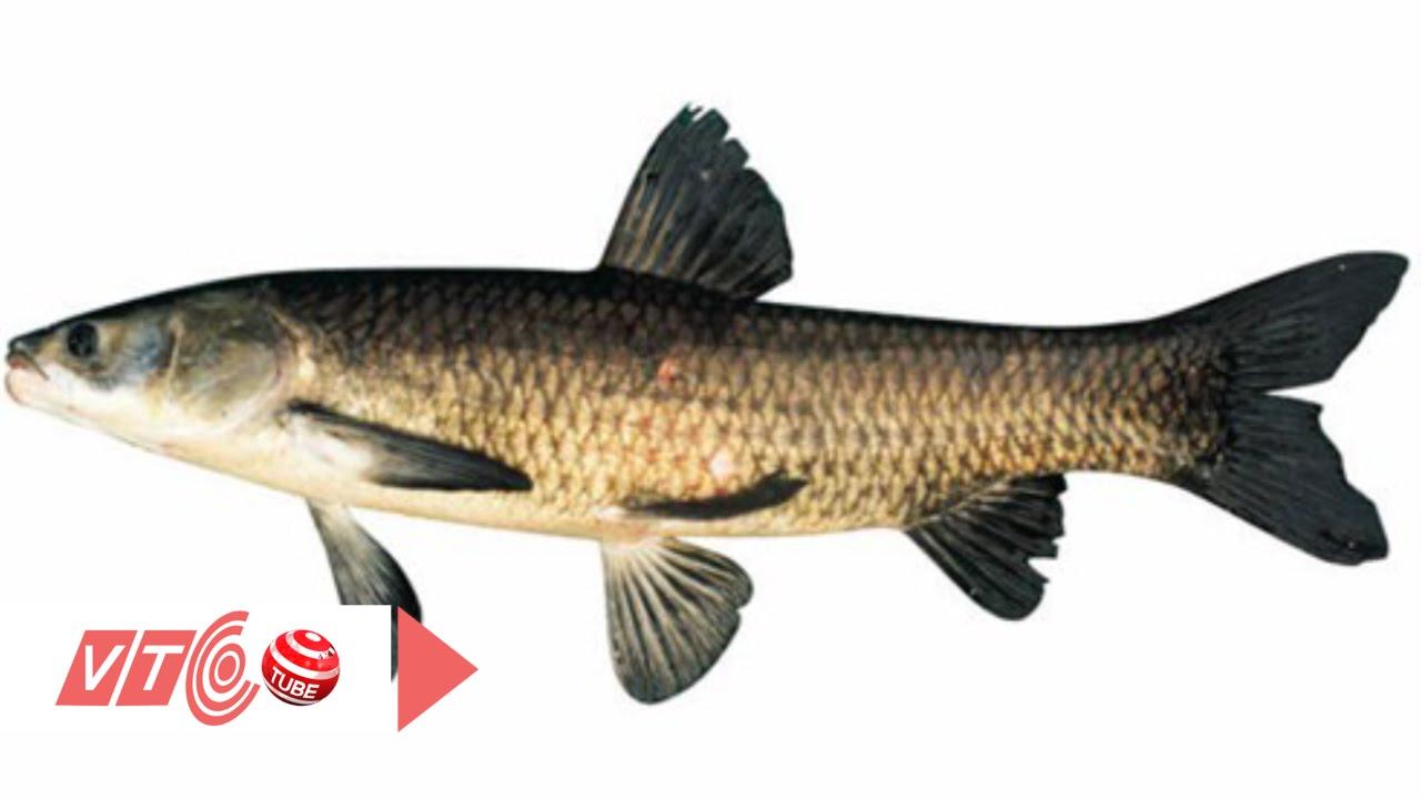 Cá trắm đen: Thực phẩm chống lão hóa | VTC