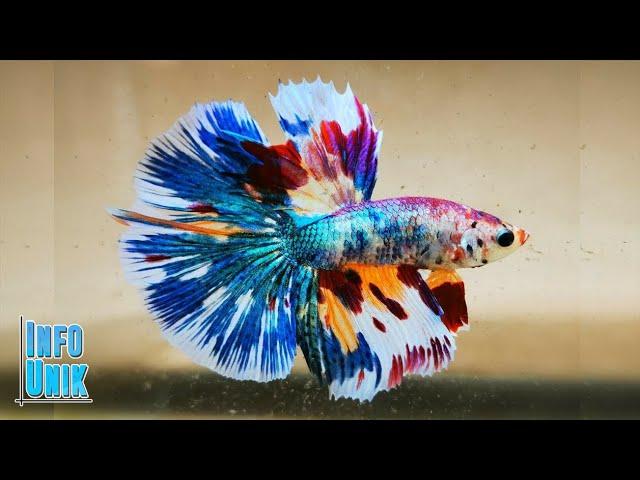 5 Ikan Cupang Termahal Dan Tercantik Youtube