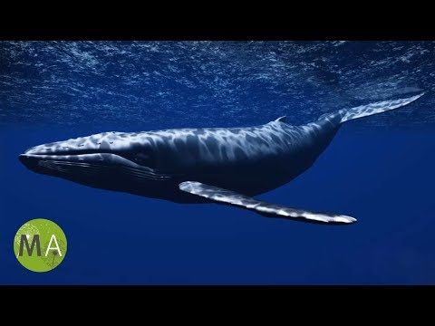 Underwater Whale Sounds  Full 60 Minute Ambient Soundscape