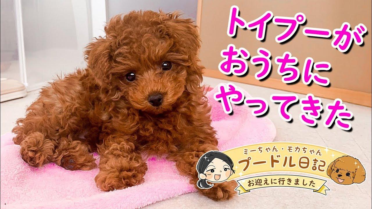 トイプードルの赤ちゃんがおうちにやってきた! ミーちゃん\u0026モカちゃんのプードル日記 Vol.2