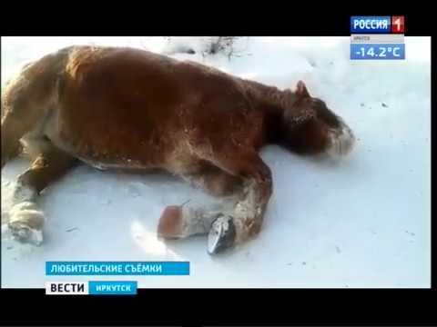 Табун лошадей гуляет по улицам Железногорска-Илимского, Вести-Иркутск