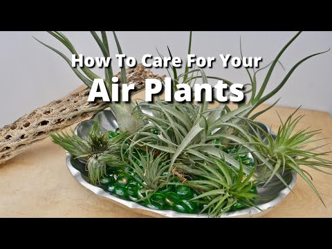 how to care for your air plants youtube. Black Bedroom Furniture Sets. Home Design Ideas