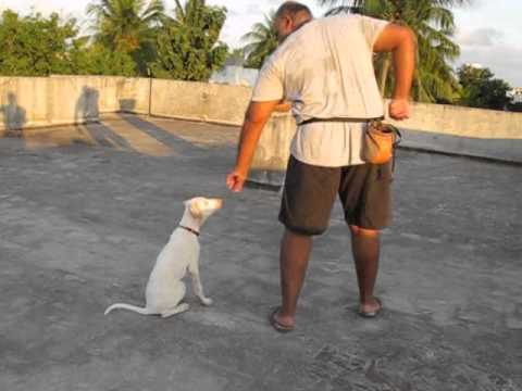 Rajapalayam pup Basic obedience