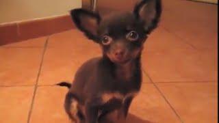 Русский той терьер.  Russian toy terrier