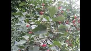 боярышник с плодами 25 08 2014